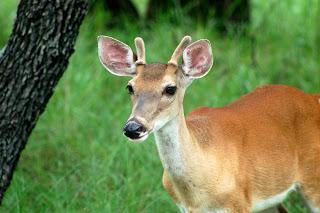 Oh Dear, Deer